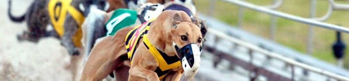 Greyhound wearing a mussel racing